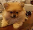 Pomeranian Puppy For Sale in OKLAHOMA CITY, OK,