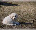 Small #6 Great Pyrenees-Tibetan Mastiff Mix