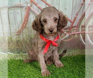 Poodle (Toy) Puppy for sale in ARTHUR, IL, USA
