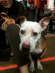 Brandy - Pit Bull Terrier Dog For Adoption