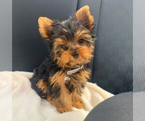 Yorkshire Terrier Puppy for sale in DALLAS, TX, USA
