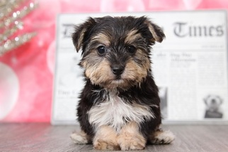 Morkie Dog for Adoption in BEL AIR, Maryland USA