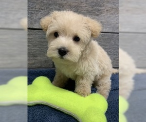 Poodle (Toy)-West Highland White Terrier Mix Puppy for sale in RICHMOND, IL, USA