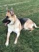German Shepherd Dog Puppy For Sale in ARLINGTON, TN, USA