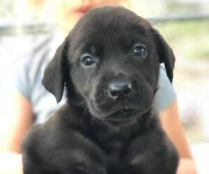 Labrador Retriever Puppy for sale in DAYTON, TN, USA