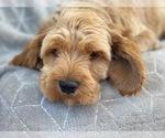 Small #8 Cavapoo-Poodle (Miniature) Mix