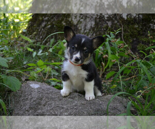 Medium Photo #4 Pembroke Welsh Corgi Puppy For Sale in TUPELO, MS, USA