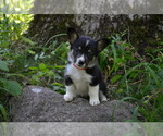 Small Photo #4 Pembroke Welsh Corgi Puppy For Sale in TUPELO, MS, USA