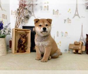 Shiba Inu Puppy for sale in LOS ANGELES, CA, USA
