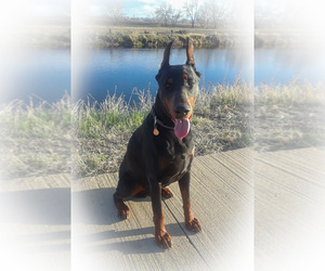 Father of the Doberman Pinscher puppies born on 05/07/2020