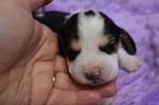 Small #3 Beagle