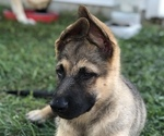 Small #10 German Shepherd Dog