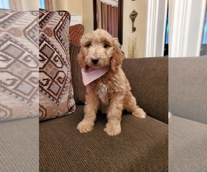 Goldendoodle Puppy for Sale in COALPORT, Pennsylvania USA