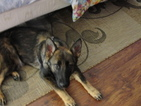 German Shepherd Dog Puppy For Sale in SPRING HILL, FL, USA