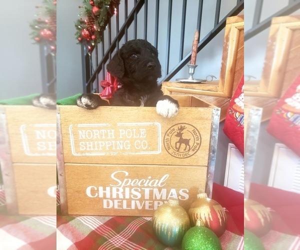 Medium Photo #5 Poodle (Standard) Puppy For Sale in ROGERSVILLE, AL, USA