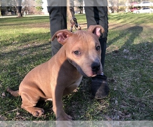 American Bully Puppy for sale in GOWEN, MI, USA