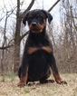 AKC Champion Line German Rottweiler Puppies Ready