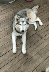 Mother of the Alusky puppies born on 10/29/2018