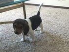Beagle Puppy For Sale in WEST LAFAYETTE, IN