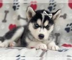 Small #9 Siberian Husky