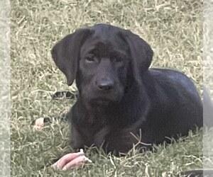 Labrador Retriever Puppy for Sale in BROWNS VALLEY, California USA
