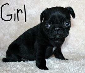 Pug Puppy For Sale in SUISUN CITY, CA, USA