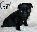 Pug Puppy For Sale in SUISUN CITY, CA, USA