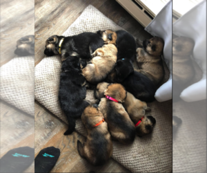 German Shepherd Dog Puppy for sale in LIBERTY, NY, USA