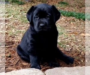 Labrador Retriever Puppy for Sale in WILLIAMSTON, South Carolina USA