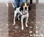 Small #15 Bluetick Coonhound