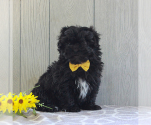 Shih-Poo Puppy for sale in GORDONVILLE, PA, USA