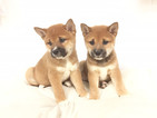 Shiba Inu Puppy For Sale in FLUSHING, NY, USA