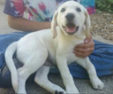 Labrador Retriever Puppy For Sale in MILLTOWN, IN