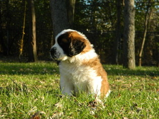 XL Male AKC Registered puppy and has champion bloo
