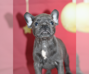 French Bulldog Puppy for sale in BANNOCKBURN, IL, USA
