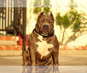 Mother of the American Bully puppies born on 08/13/2020