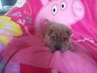 Chinese Shar-Pei Puppy For Sale in ATCHISON, KS, USA