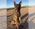 Small Photo #5 Dutch Shepherd Dog Puppy For Sale in SIERRA VISTA, AZ, USA