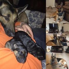 German Shepherd Dog Puppy for sale in REDMOND, OR, USA