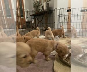 Golden Retriever Puppy for sale in SONORA, CA, USA