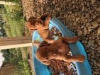Vizsla Puppy For Sale in HARMONY, PA, USA