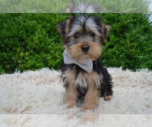 Yorkshire Terrier Puppy for sale in HONEY BROOK, PA, USA