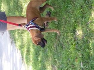 Mastiff Puppy For Sale in LAKELAND, FL