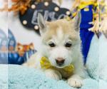 Puppy 12 Siberian Husky