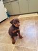 Doberman Pinscher Puppy For Sale in MIAMI, OK, USA