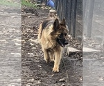 Small Photo #1 German Shepherd Dog Puppy For Sale in NEOSHO, MO, USA