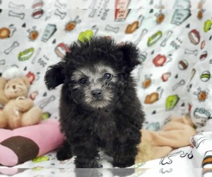 Poodle (Toy) Dog for Adoption in LONG ISLAND CITY, New York USA
