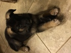German Shepherd Dog Puppy For Sale in SPRING, TX,