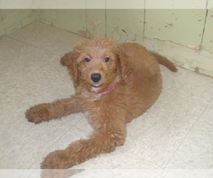 Goldendoodle Puppy for sale in PATERSON, NJ, USA