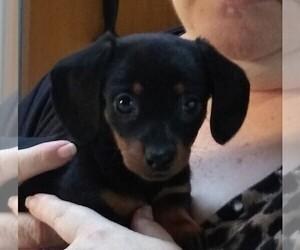 Dachshund Puppy for Sale in TUMWATER, Washington USA